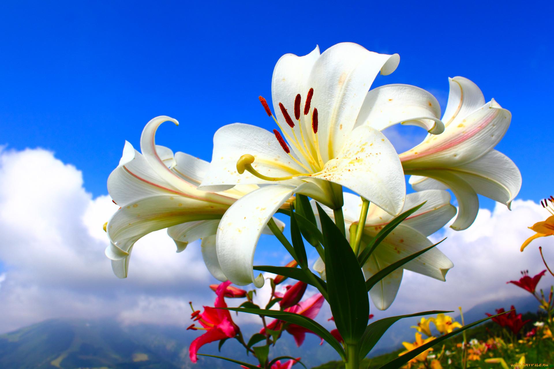 модное на рабочий стол картинки цветка лилии много